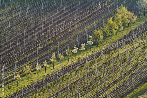 Vineyard Vineyards in spring