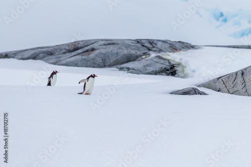 Aluminium Pinguin Pair of mating gentoo penguins in Antarctica.CR2