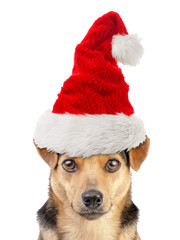 Dog Small Fawn Portrait wearing xmas or christmas santa claus hat isolated on white