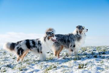 Eine Gruppe von zwei hübschen Australian Shepherd  im Winter stehen auf einer verschneiten Wiese über Ihnen blauer Himmel Blicke zur Seite.