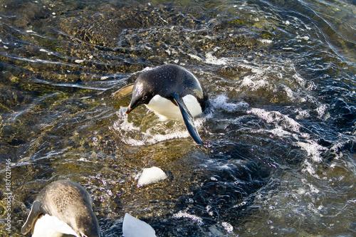Aluminium Pinguin Adélie penguins(pygoscelis adeliae)swimming in the sea Davis,East Antarctica