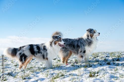 Fototapeta Eine Gruppe von zwei hübschen Australian Shepherd  im Winter stehen auf einer verschneiten Wiese über Ihnen blauer Himmel Blicke zur Seite.