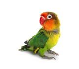 Lovebird isolated on...