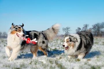 Eine Gruppe von zwei hübschen Australian Shepherd im Winter spielen ausgelassen auf einer verschneiten Wiese über Ihnen blauer Himmel
