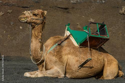 Fotobehang Kameel lächelndes Kamel