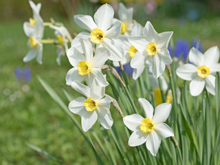 Narzissen, Narcissus, Osterglocken, Frühling