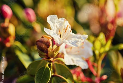 Fotobehang Azalea Blooming pink rhododendron in the garden
