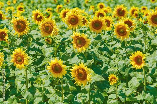 Fotobehang Natuur Sunflowers Field in Bulgaria