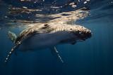 Humpback whales play in blue ocean underwater - 187059595