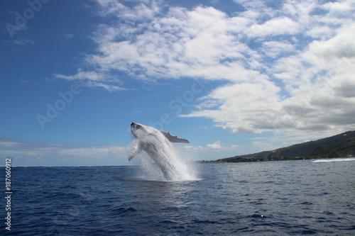 Humpback whales jump Poster