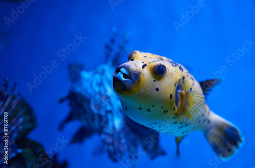 Arothron nigropunctatus yellow. Poisonous fugy fish and red lionfish