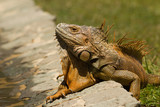 Reddish green iguana