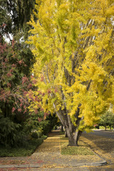 Autumn trees with sidewalk