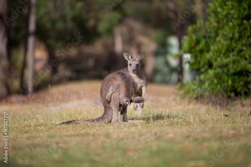 Fotobehang Kangoeroe Kangaroo Looking Down