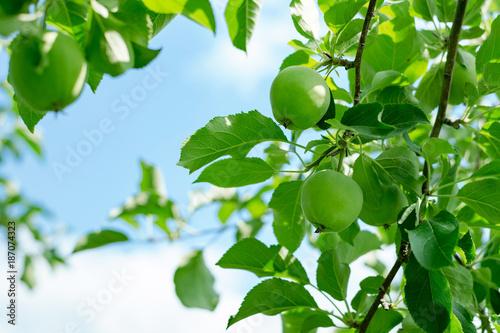 津軽の新鮮なりんご - 187074323