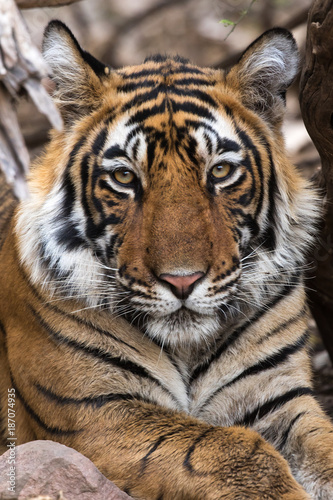 Portrait of Tiger, Ranthambore Tiger Reserve, Rajasthan, India Poster