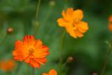 Orange Sulphur Cosmos - 187077186
