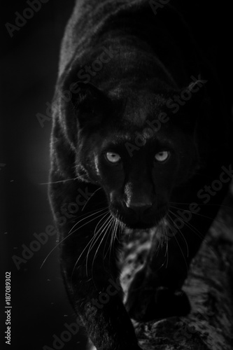 Foto op Plexiglas Panter Black Panther - Panthère Noir