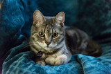 Grey striped cat lying on chair looking in camera. Grey tabby cat with green eyes rests on green velvet armchair, looking in camera.