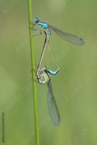 zwei Kleinlibellen bei der Paarung - 187095793