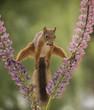 squirrel between lupine flowers