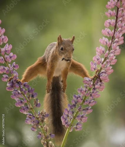 Foto Murales squirrel between lupine flowers
