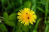 The dandelion flower growing on a summer meadow.