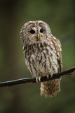 Strix aluco. It occurs in the Czech Republic. Free nature. The wild nature of the Czech Republic. Beautiful image of the owl. From Owl's Life. Owl on the tree. Black eyes. - 187107705