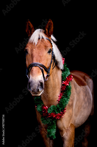Portrait of horse with chrsitmas wreath isolated on black