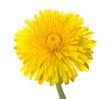 dandelion flower isolated