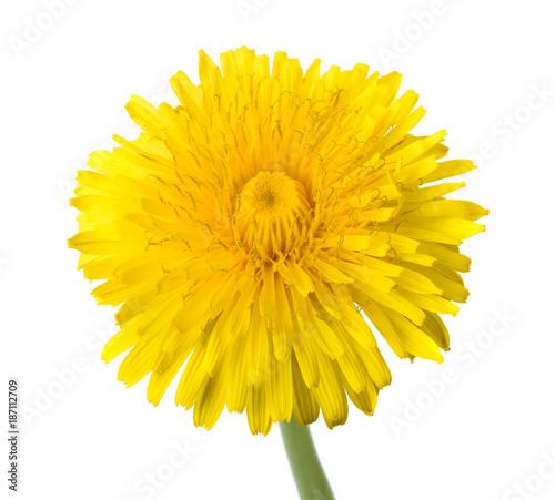 dandelion flower isolated - 187112709