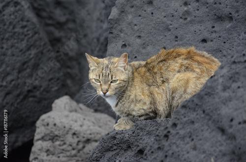 dziki beżowo-rudy kot na tle szarych skał Poster