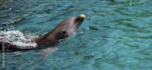 Fotobehang Dolfijn Dolphins in Caribbean Sea water