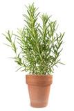 Rosemary in vase - 187119114