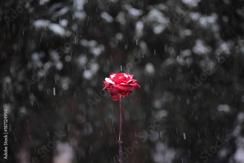 Red flower in snowing in winter garden.