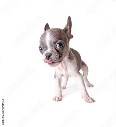 Deurstickers Franse bulldog photo of a cute french bulldog puppy licking his nose studio shot on an isolated white background
