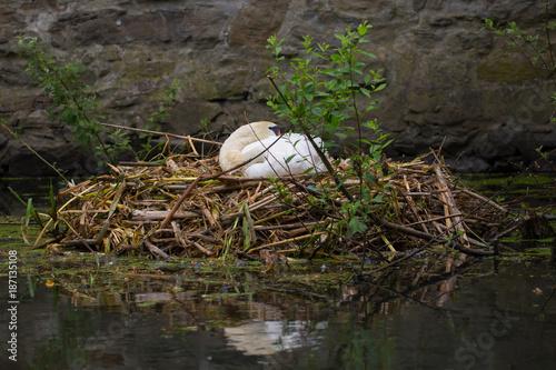 Fotobehang Zwaan Höckerschwan auf seinem Nest