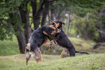 Two dogs fighting in part.