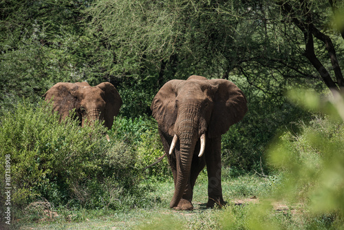 Two elephants in green bushes in Manyara national park, Tanzania