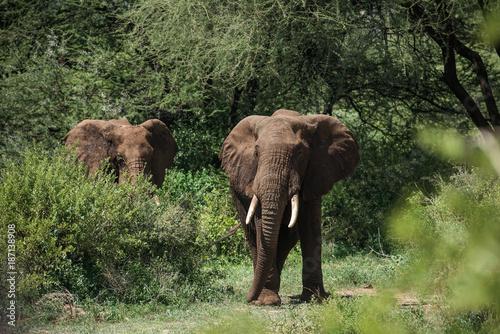 Two elephants in green bushes in Manyara national park, Tanzania Poster