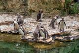 Penguins swim in the pond.  - 187144172