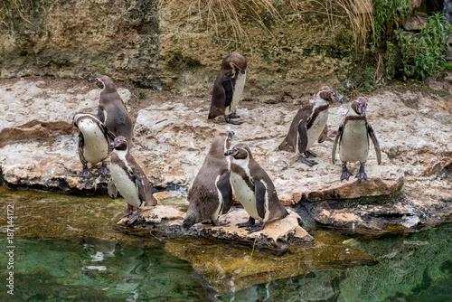 Aluminium Pinguin Penguins swim in the pond.