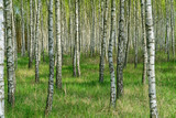 Birch grove in sunny spring day with white trunks of birches and fresh green foliage. Spring forest landscape. Natural background.