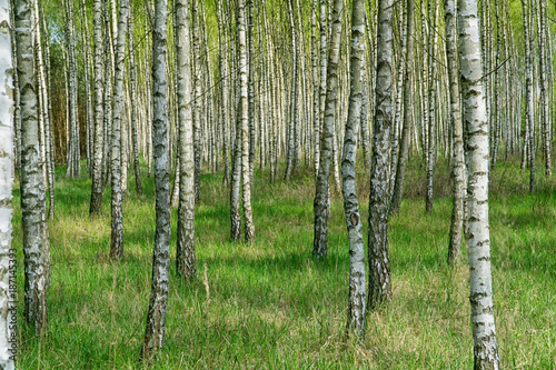 Birch grove in sunny spring day with white trunks of birches and fresh green foliage. Spring forest landscape. Natural background. - 187145393