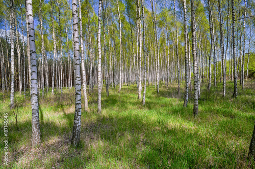Aluminium Berkenbos Birch grove in sunny spring day with white trunks of birches, fresh green foliage and blue sky in background. Spring forest landscape. Natural background.