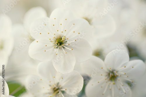 Blossoming of cherry flowers in spring time with green leaves and copyspace, macro © Roxana