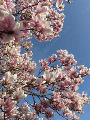 magnolia - 187159587