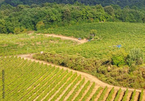 Poster Wijngaard Harvest in the vineyard below the walls of Monteriggioni, Italy