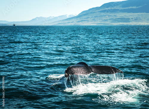 Whales on water in gulf of Iceland. Poster