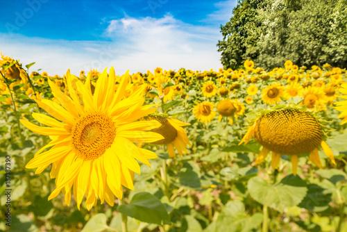 Fotobehang Geel Nahaufnahme Sonnenblumenfeld vor blauem Himmel